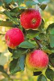 A trio of ripening apples offer a tasty treat. Royalty Free Stock Photography