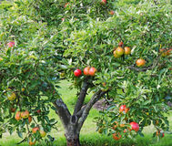 Ripening Apples on a Tree. Ripening red apples on a tree in an English Orchard Royalty Free Stock Images