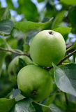 Ripening apples on tree. Royalty Free Stock Photography