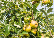 Ripening apples on the tree Royalty Free Stock Photos