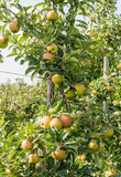Ripening apples on the tree Royalty Free Stock Image