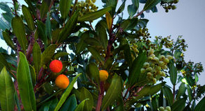 Arbutus Berries. Ripening on the tree Stock Photo