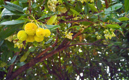 Arbutus Berries. Ripening on the tree - they will eventually turn orange and red Royalty Free Stock Photo