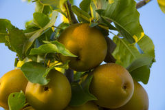 Ripening Ashian Pears on Tree Royalty Free Stock Image