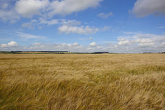 Ripening barley Royalty Free Stock Images