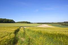 Ripening barley fields Royalty Free Stock Photo