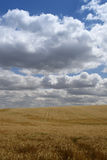 Ripening barley filed. Sunny, clouds Stock Images