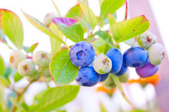 Ripening berries on a bush Stock Photo
