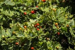 Ripening berries of hawthorn in green foliage. Crataegus Stock Image