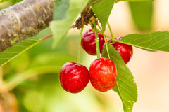 Ripening Bing Cherries Stock Images