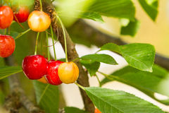 Ripening Bing Cherries Royalty Free Stock Photos