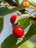 Ripening Bing Cherries Stock Photography