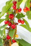 Ripening Bing Cherries. Sweet Bing cherries ripen on tree Stock Image