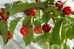 Ripening Bing Cherries. Sweet Bing cherries ripen on tree Stock Images