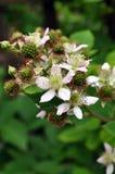 Ripening blackberries Royalty Free Stock Photos