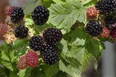 Ripening Blackberries Stock Photo