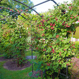 Ripening blackberries stock images