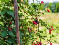 Ripening blackberries on a hot August day in the countryside in the garden. stock photo
