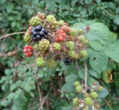 Ripening Blackberry Detail Royalty Free Stock Photo