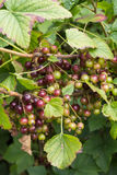 Ripening Blackcurrants Royalty Free Stock Photography