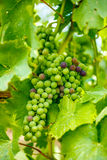 Ripening Blauer Portugeiser grape cluster Stock Photo