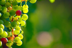 Ripening Blue Grapes Royalty Free Stock Photo
