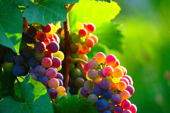 Ripening Blue Wine Grapes. With colorful berries on vine in vineyard in sunny summer morning
