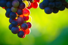 Ripening Blue Wine Grapes. With colorful berries on vine in vineyard in sunny summer morning on blurred green background with bokeh and copy space Stock Image