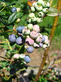 Ripening Blueberries. On the branch of a bush Royalty Free Stock Photos