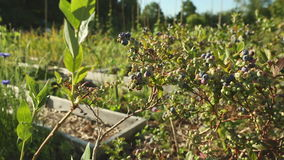Ripening Blueberries on the Bush stock video