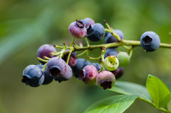 Ripening blueberries on the bush Stock Photos