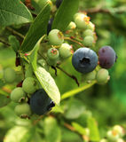 Ripening Blueberries Royalty Free Stock Photography