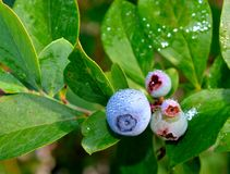 Ripening blueberries covered in morning mist Stock Photography