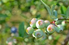 Ripening blueberries covered in morning mist Royalty Free Stock Images