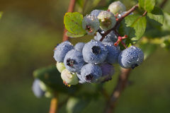 Ripening Blueberries in Summer Royalty Free Stock Photography