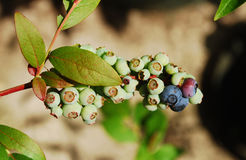Ripening Blueberries Royalty Free Stock Image