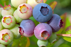 Ripening blueberries on the vine Stock Photos