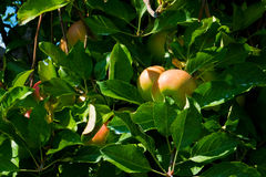 Ripening Bounty of Apples Royalty Free Stock Images