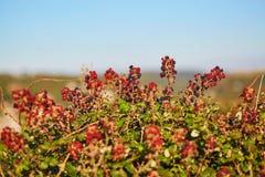 Ripening brambles on a bush Royalty Free Stock Photos