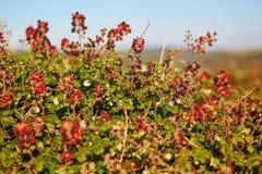 Ripening brambles on a bush Stock Photo