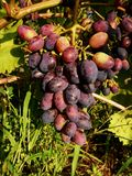Ripening on a branch of a bunch of blue grapes royalty free stock images