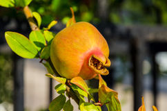 Ripening on a branch of pomegranate Royalty Free Stock Photos