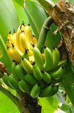 Ripening bunch of Bananas Stock Image