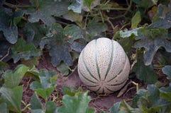 Ripening Cantaloupe Stock Images