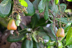 Ripening Cashew Nuts in Plant Royalty Free Stock Photos