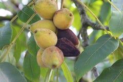 Ripening Celeste Fig. The Celeste variety of figs ripen on a branch Stock Photos