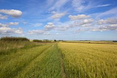 Ripening cereal fields by a summer bridleway Royalty Free Stock Photos