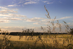 Ripening Cereal Rural Landscape Stock Photography