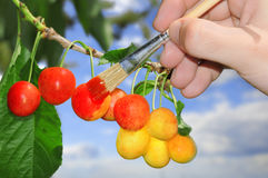 Ripening Cherries Royalty Free Stock Photography