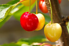 Ripening Cherries Royalty Free Stock Photos
